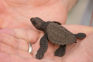 itty bitty olive ridley